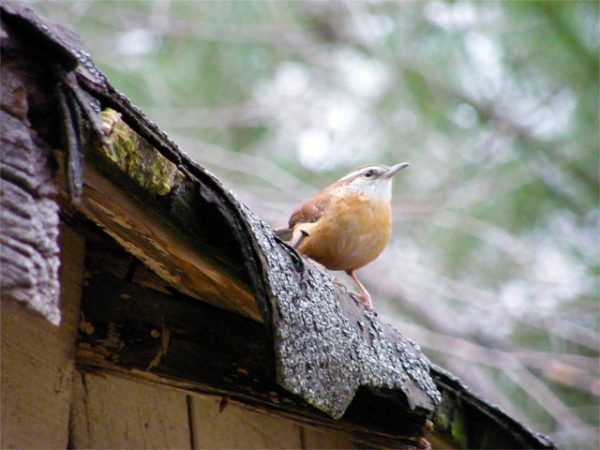 Carolina Wren called in on to our old garage 640-20141129-1205-78