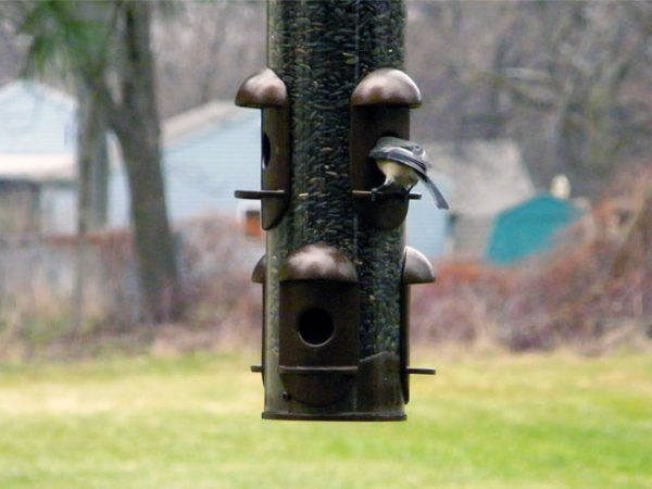 Black-capped Chickadee in sunflower seed feeder 640-20141130-1205-97