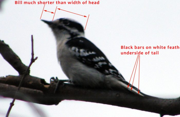 Female Downy Woodpecker on branch id markers for bill length and underside of tail 20141130-1205-81