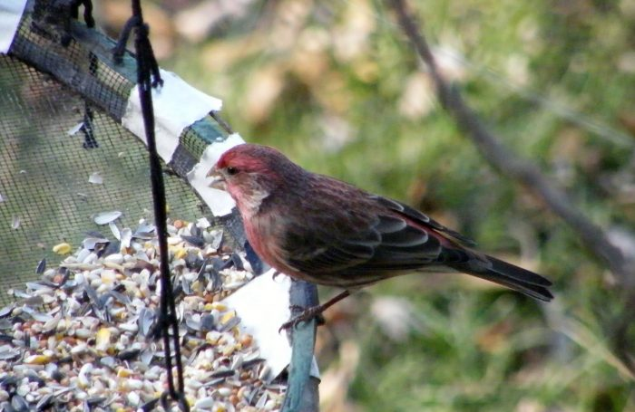 Male House Finch eating safflower seeds 20141204-1205-124