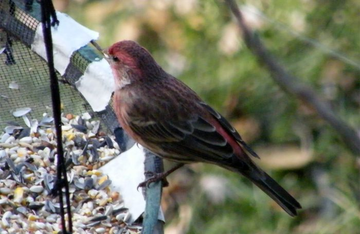 Male House Finch shelling a safflower seed 20141204-1205-126