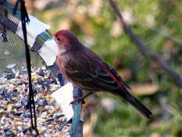Male House Finch eating safflower seeds from the overflow tray 640-20141204-1205-126