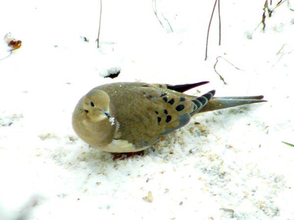 Mourning Dove snow beard from eating seeds in the snow640-20141121-3