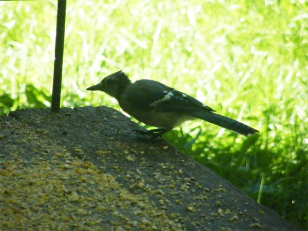 Scruffy molting Blue Jay on our back deck eating corn 640-20160920-1