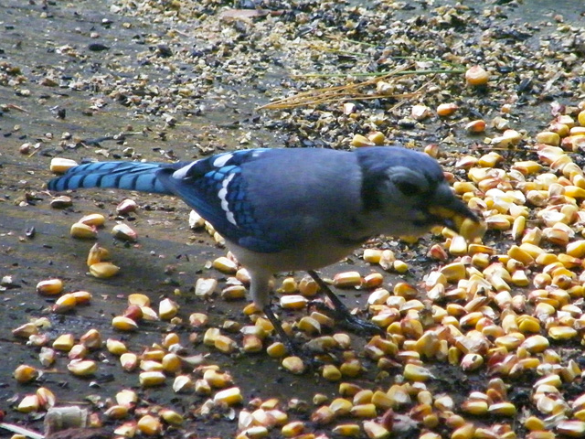 This Blue Jay was just gorging on corn kernels to the point it couldn't jam any more down its throat 640-20161006-637