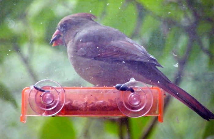 Female adult Northern Cardinal on the sunflower seed tray, note the colored beak 20160930-9