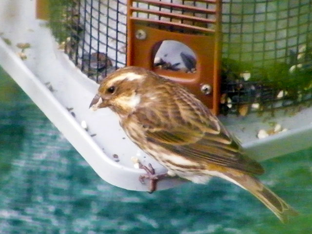 Female Purple Finch eating at our sunflower seed feeder 640-20161021-23