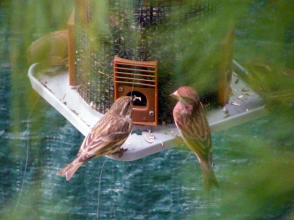 Two female Purple Finches visit our feeders with some male House Finches 640-20161021-50