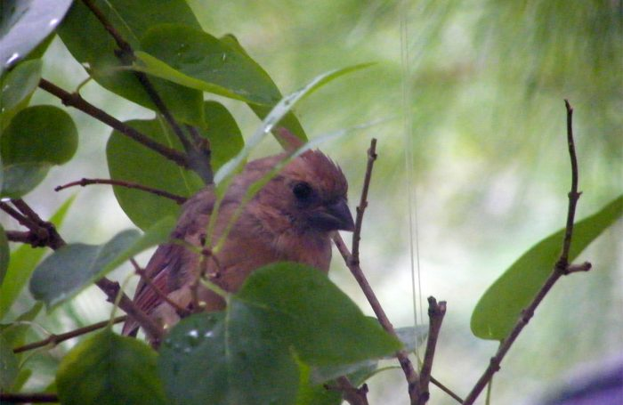 Juvenile Cardinal on a branch with its dark beak and crest down 20160930-5