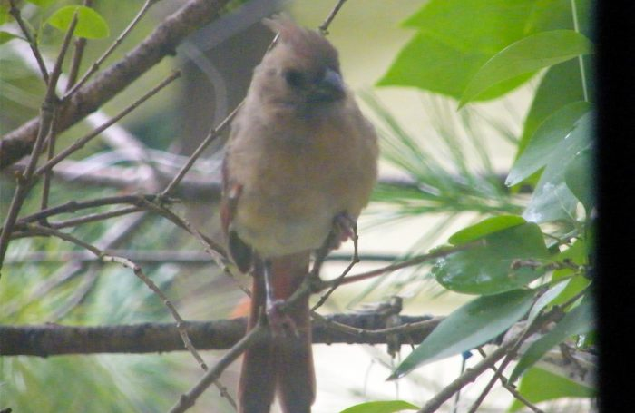Juvenile Cardinal on branch, note the gray-black beak 20160930-8