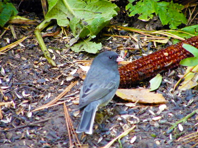 The male Dark-eyed Junco looking right showing off its pink bill and white-edge tail feathers 640-20161028-34
