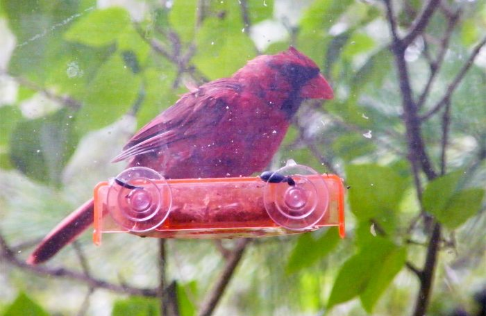 Male  adult Northern Cardinal on the sunflower seed tray 20160930-7