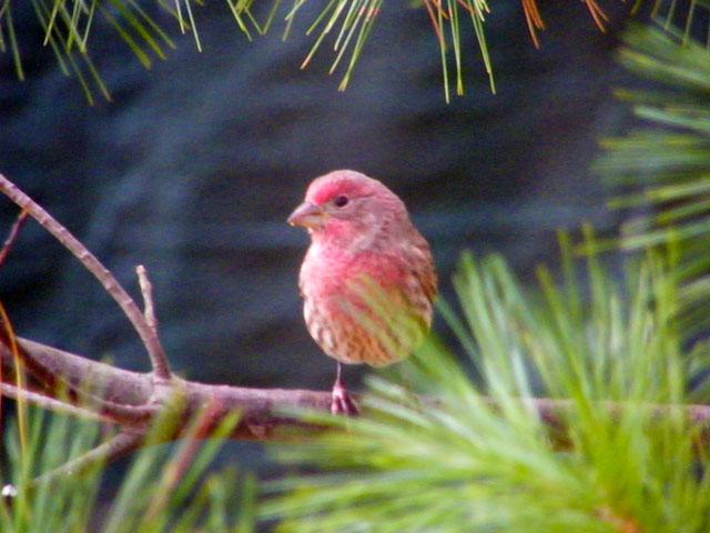 This male House Finch had me wondering a minute if it was a Purple Finch but the chest streaking and curved upper bill said House Finch 640-20161021-44