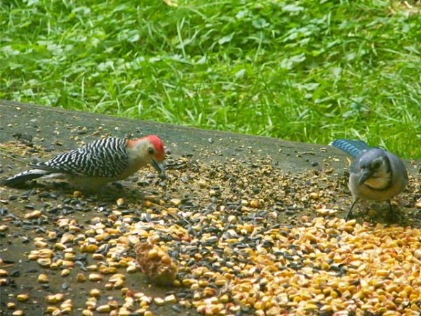 Red-bellied Woodpecker and Blue Jay on deck 640-20161006-52