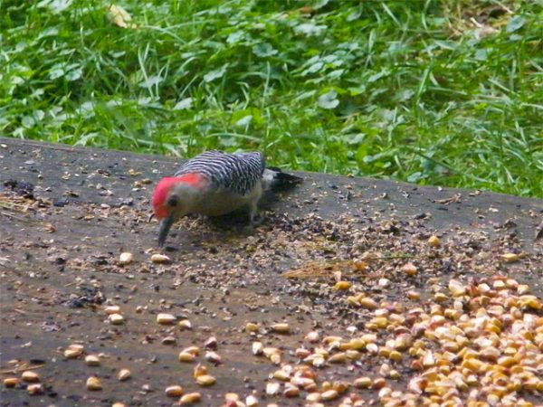 Red-bellied Woodpecker going for corn on our back deck 640-20161006-27