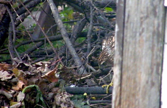 Cooper's Hawk peering under leaves and brush trying to spot small birds 640x480-20161122-43